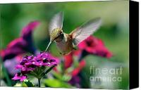 Male Hummingbird Canvas Prints - Hummingbird Seeking Nectar Canvas Print by Laura Mountainspring