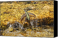 Humming Bird Canvas Prints - Hummingbird Taking a Bath in Creek Canvas Print by Susan Gary