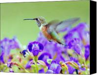 Fuchsia Canvas Prints - Hummingbird Visiting Violets Canvas Print by Laura Mountainspring
