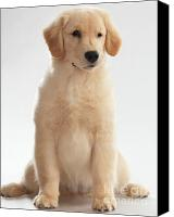 Retrievers Canvas Prints - Humorous Photo of Golden Retriever Puppy Canvas Print by Oleksiy Maksymenko