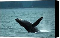 Whale Canvas Prints - Humpback Breaching Canvas Print by Harry Spitz