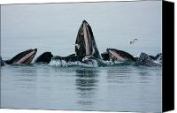 Whalen Photography Canvas Prints - Humpback Bubble Net Canvas Print by Josh Whalen