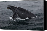 Whale Canvas Prints - Humpback Whale Breach Canvas Print by Tory Kallman