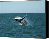 Whale Photo Canvas Prints - Humpback Whale Breaching Canvas Print by Peter K Leung