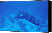 Suckling Canvas Prints - Humpback Whale Calf Suckling Canvas Print by Alexis Rosenfeld