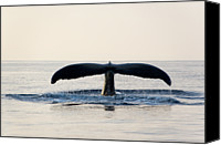 Whale Photo Canvas Prints - Humpback Whale Fluke Canvas Print by M Sweet