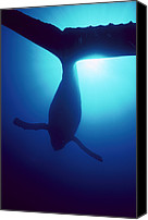 Whale Photo Canvas Prints - Humpback Whale Megaptera Novaeangliae Canvas Print by Flip Nicklin