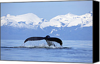 Whale Photo Canvas Prints - Humpback Whale Megaptera Novaeangliae Canvas Print by Konrad Wothe