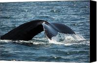 Whale Canvas Prints - Humpback Whale Tail Cape Cod Massachusetts Canvas Print by Michelle Wiarda