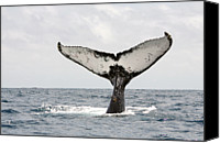 Whale Photo Canvas Prints - Humpback Whale Tail Canvas Print by Photography by Jessie Reeder