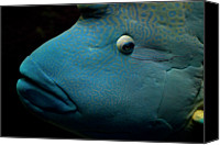 Natural Pattern Photo Canvas Prints - Humphead Wrasse (cheilinus Undulatus) Canvas Print by Tobias Titz