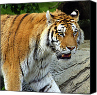 Detroit Tigers Art Canvas Prints - Hungry cat Canvas Print by Gordon Dean II