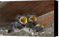 Animals Prints Pyrography Canvas Prints - Hungry Cute Little Baby Birds  www.pictat.ro Canvas Print by Preda Bianca Angelica