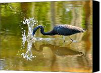 Herons Canvas Prints - Hungry Splash Canvas Print by Emily Stauring