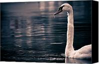 Blue Swan Canvas Prints - Hungry Swan Canvas Print by Justin Albrecht