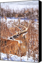 Whitetail Buck Canvas Prints - Hunkered Down Canvas Print by Emily Stauring
