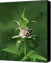 Horsemint Canvas Prints - Hunter Wasp on  Beebalm Canvas Print by Peg Urban