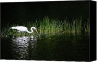 Great Egret Canvas Prints - Hunting Canvas Print by Karol  Livote