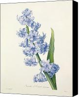 Color Drawings Canvas Prints - Hyacinth Canvas Print by Pierre Joseph Redoute
