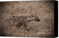 On-the-look-out Canvas Prints - Hyena on the Move Canvas Print by Darcy Michaelchuk