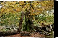 Big Tree Canvas Prints - I am here since almost 1000 years Canvas Print by Heiko Koehrer-Wagner