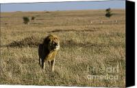 Kenya Canvas Prints - I am king admire me Canvas Print by Darcy Michaelchuk