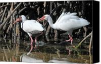 Ibis Canvas Prints - Ibis Argument Canvas Print by Alan Lenk