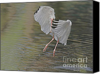 Ibis Canvas Prints - Ibis Grace Canvas Print by Deborah Benoit