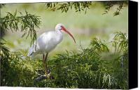 Ibis Canvas Prints - Ibis in Cypress Canvas Print by Patrick M Lynch