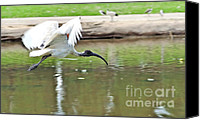 Ibis Canvas Prints - Ibis in Flight Canvas Print by Kaye Menner