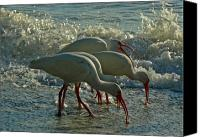 Ibis Canvas Prints - Ibises Canvas Print by Juergen Roth
