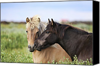 Two Animals Canvas Prints - Icelandic Horse Canvas Print by Gigja Einarsdottir