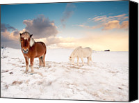Weather Canvas Prints - Icelandic Horses On Winter Day Canvas Print by Inglfur Bjargmundsson