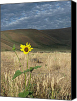 Estephy Sabin Figueroa Photo Canvas Prints - Idaho Sunflower Canvas Print by Estephy Sabin Figueroa