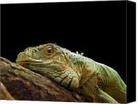 Lizard Canvas Prints - Iguana Canvas Print by Jane Rix