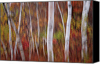 Vermont Autumn Foliage Canvas Prints - Impressions - Birch Forest of Vermont in autumn   Canvas Print by Thomas Schoeller