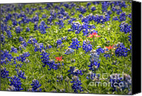 Bluebonnets Canvas Prints - In a Sea of Blue  Canvas Print by Fred Lassmann