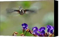 Male Hummingbird Canvas Prints - In Coming a hummingbirds Story Canvas Print by Laura Mountainspring