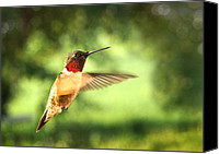 Ruby Throated Canvas Prints - In His Element Canvas Print by Bill Pevlor