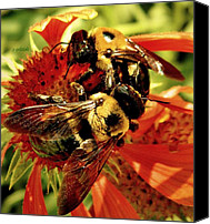 Bumblebees Canvas Prints - In it Together Canvas Print by Chris Berry