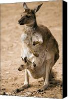 Joey Canvas Prints - In  Mothers Care Canvas Print by Mike  Dawson