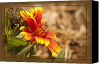 Florida Nature Photography Canvas Prints - Indian Blanket Canvas Print by Carolyn Marshall
