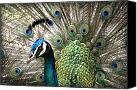 Hawaiian Islands Canvas Prints - Indian Blue Peacock Puohokamoa Canvas Print by Sharon Mau