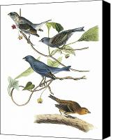 Bunting Painting Canvas Prints - Indigo Bunting Canvas Print by John James Audubon