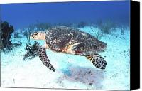 Injured Canvas Prints - Injured Hawksbill Turtle With Damaged Canvas Print by Karen Doody