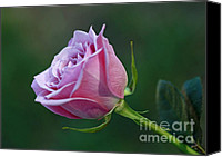 Royal Botanical Gardens Canvas Prints - Innocence at Sunrise- Pink Rose Blossom Canvas Print by Inspired Nature Photography By Shelley Myke