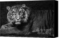 Cub Canvas Prints - Intent Canvas Print by Andrew Paranavitana