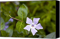 Vinca Flowers Canvas Prints - Intermediate Periwinkle (vinca Difformis) Canvas Print by Bob Gibbons