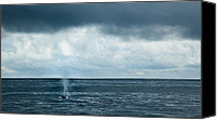 Whale Canvas Prints - Into the Pacific - Fin Whale Canvas Print by Adam Pender