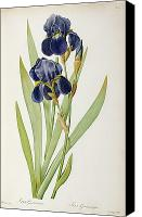 Green Canvas Prints - Iris Germanica Canvas Print by Pierre Joseph Redoute